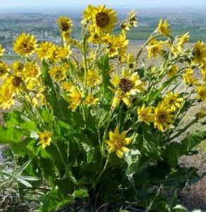 Carey's balsamroot