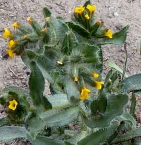 Fiddleneck tarweed