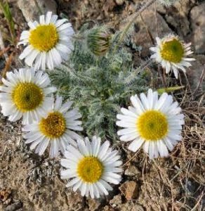 purple cushion fleabane