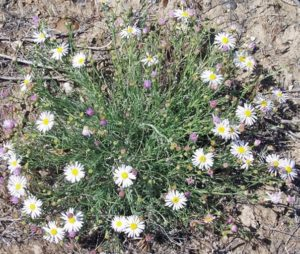 threadleaf fleabane